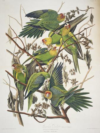 "Carolina Parakeet, from ""Birds of America,"" 1829 Premium Giclee Print by John James Audubon"