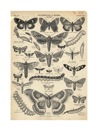 Illustration of Butterflies and Moths Giclee Print