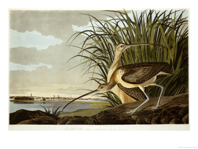 Male And Female Long Billed Curlew (Numenius Americanus) with the City of Charleston Behind Premium Giclee Print by John James Audubon