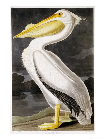 American White Pelican Premium Giclee Print by John James Audubon