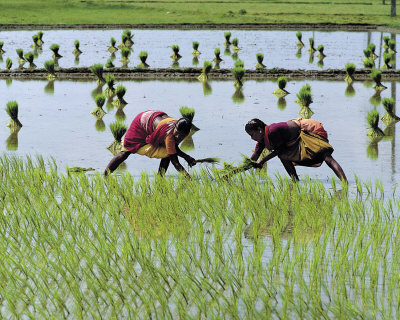Paddy Fields of Tamil Nadu Art Print