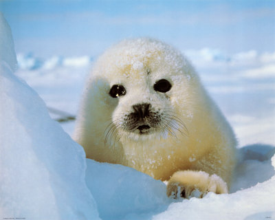 seal. Seal Pup Posters at