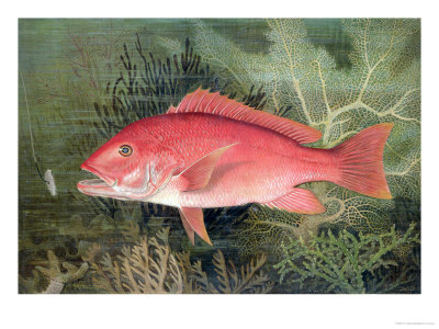 """Red Snapper, from """"Game Fishes of the United States,"""" Published 1878 Premium Giclee Print by S.a. Kilbourne"""