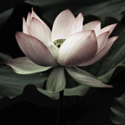 The Lotus I Umělecká reprodukce