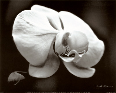 White Orchid Prints by Harold Silverman