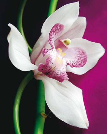 Orchid Posters by Amelie Vuillon