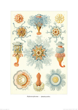 Colonial Jellyfish, Tablet 93, c.1899-1904 Prints by Ernst Haeckel