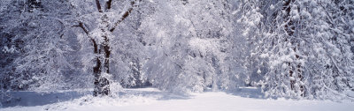 Forest in Winter, Yosemite National Park, California, USA Photographic Print by  Panoramic Images
