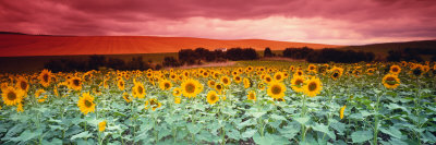 Sunflowers, Corbada, Spain Fotografie-Druck