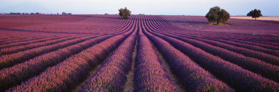Lavender Field, Fragrant Flowers, Valensole, Provence, France Photographic Print by  Panoramic Images