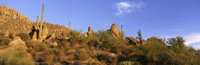 Saguaro Cactus, Sonoran Desert, Arizona, United States Photographic Print by  Panoramic Images