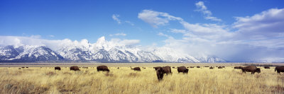 Bison Herd, Grand Teton National Park, Wyoming, USA Photographic Print by  Panoramic Images