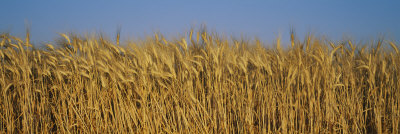 Field of Wheat, France Photographic Print by  Panoramic Images