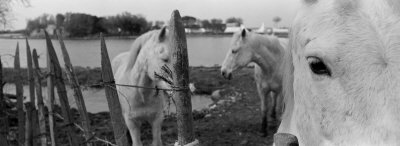 Horses, Camargue, France Photographic Print by  Panoramic Images