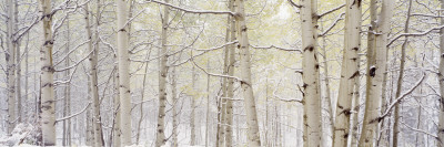 Autumn Aspens with Snow, Colorado, USA Photographic Print by  Panoramic Images