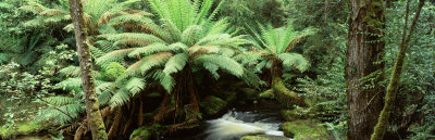 Rainforest, Mt. Field National Park, Tasmania, Australia Photographic Print by  Panoramic Images