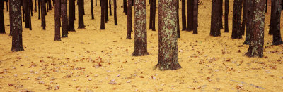 Low Section View of Pine and Oak Trees, Cape Cod, Massachusetts, USA Photographic Print by  Panoramic Images