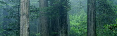 Trees in a Forest, Redwood National Park, California, USA Photographic Print by  Panoramic Images