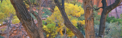 Cottonwood Trees in a Forest, Escalante National Park, Utah, USA Photographic Print by  Panoramic Images