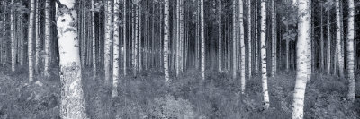 Birch Trees in a Forest, Finland Photographic Print by  Panoramic Images