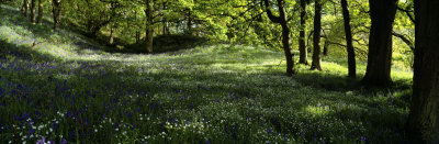 Newton Wood, Flowers in a Forest, England, United Kingdom Photographic Print by  Panoramic Images