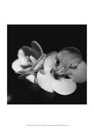 Quince Blossoms IV Prints by Renee Stramel