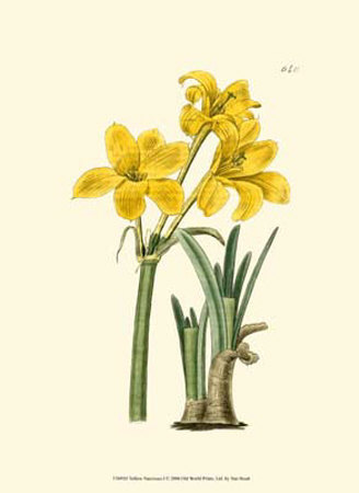 Yellow Narcissus I Posters by  Van Houtt