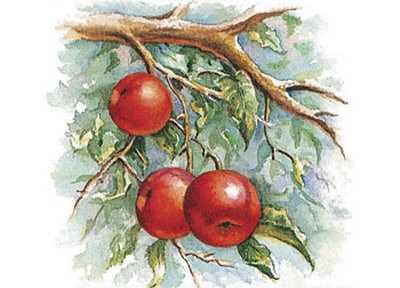 Three Apples on a Branch Posters by Peggy Thatch Sibley