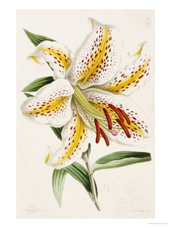 "Lily, from ""The Floral Magazine"" Premium Giclee Print by James Andrews"
