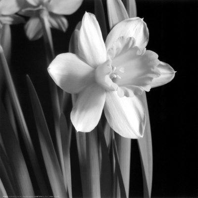 Daffodil Kunsttryk