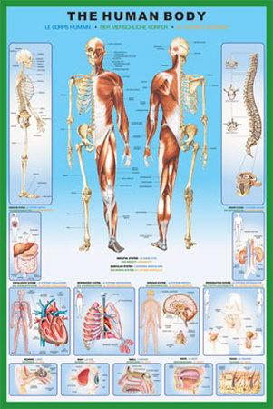 Ciało ludzkie plakat