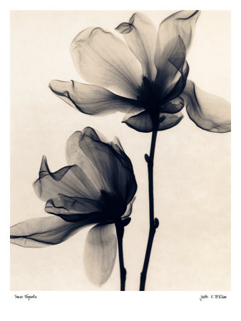 Saucer Magnolia Posters by Judith Mcmillan