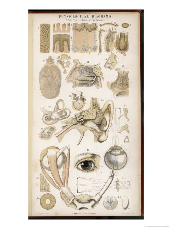 Various Diagrans of the Organs of the Senses Giclee Print by J.s. Cuthbert