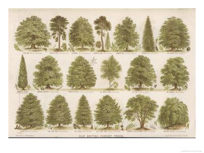 Chart of British Forest Trees Premium Giclee Print
