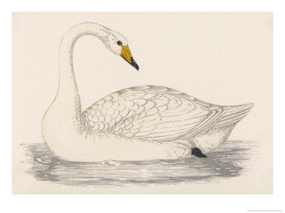 Whooper Swan Giclee Print by Reverend Francis O. Morris