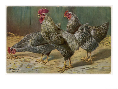 Black-Speckled Cock and Hens, Probably Silver-Laced Wyandottes Premium Giclee Print by A. Schonian