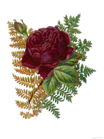 Red Rose and Ferns Giclee Print