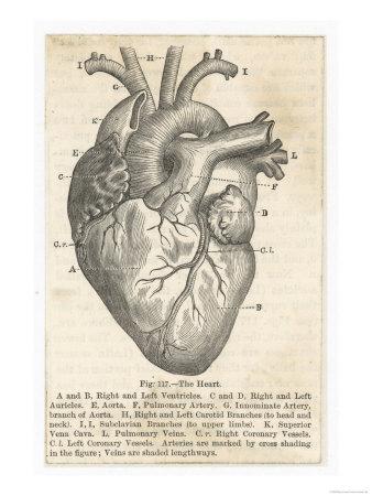 Kalbin Anatomisi Giclee Baskı