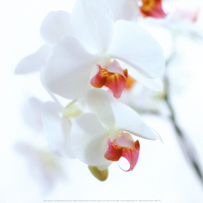 White and Pink Orchid Kunsttryk