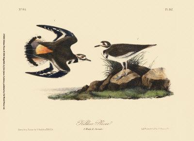 Kildeer Plover Prints by John James Audubon