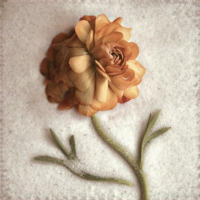 Sand Ranunculus Prints by Donna Geissler