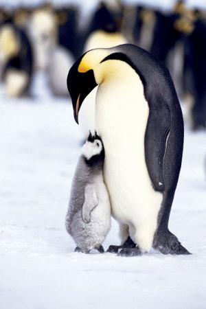 Penguin, Maternal Moment Poster