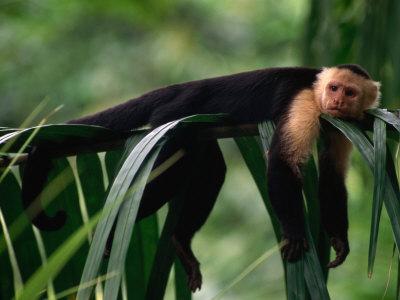 White Faced Capuchin Baby White Faced Capuchin Young