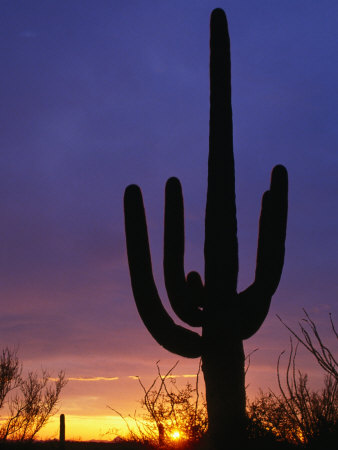 Silhouette of Saguaro Cactus, Saguaro National Park, USA Photographic Print