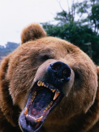 Grizzly Bear (Ursus Arctos), Denali National Park & Preserve, Alaska, USA Photographic Print by Mark Newman