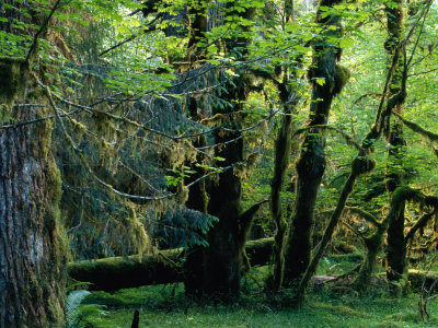 Trees in Hoh Rainforest, Olympic National Park, USA Photographic Print by Nicholas Pavloff