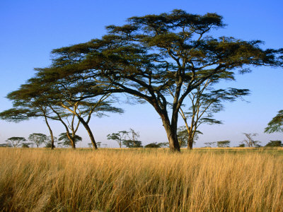 Acacia Trees on Serengeti Plains, Serengeti National Park, Tanzania Photographie