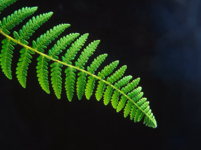 Yep, it's a fern.