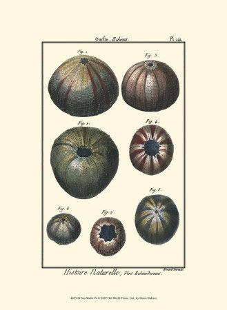Sea Shells IV Prints by Denis Diderot