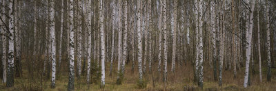 Silver Birch Trees in a Forest, Narke, Sweden Photographic Print by  Panoramic Images